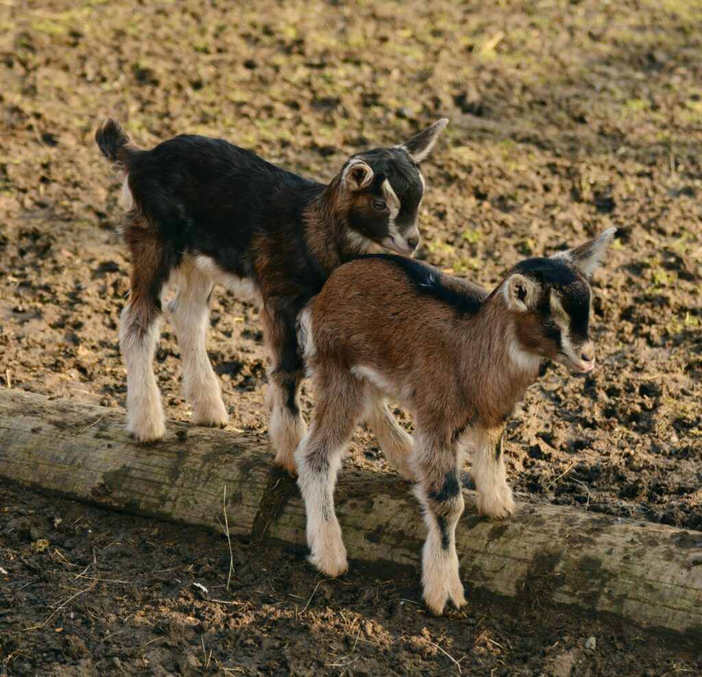 Baby Goats for Goat Yoga